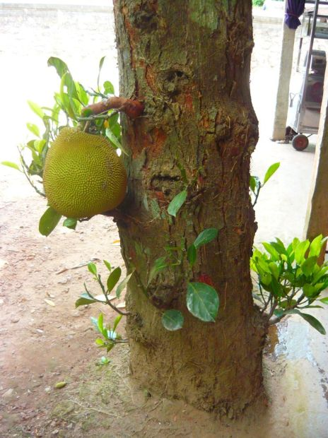 jackfruit growing from trunk